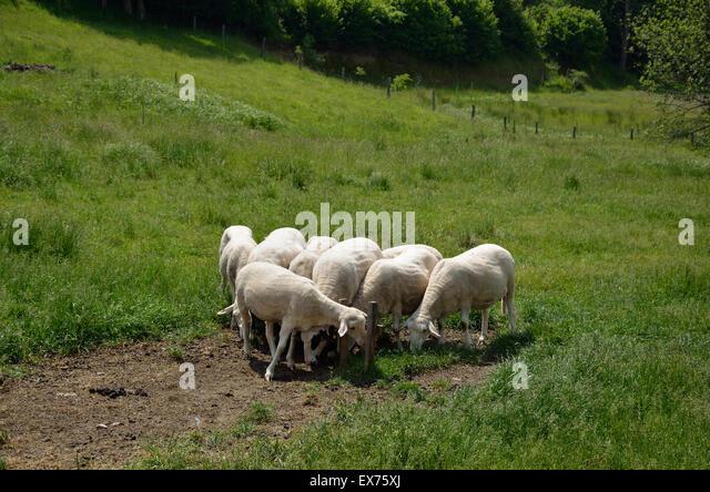 Herd White Sheep Stock Photos & Herd White Sheep Stock ...