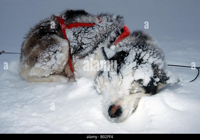 Siberian Husky Quebec Nunavik Quebec ...