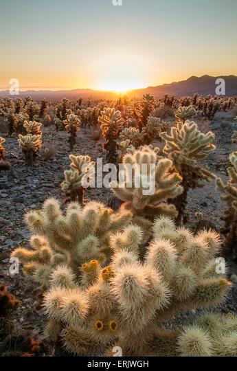 Cholla Cactus Stock Photos Cholla Cactus Stock Images Alamy