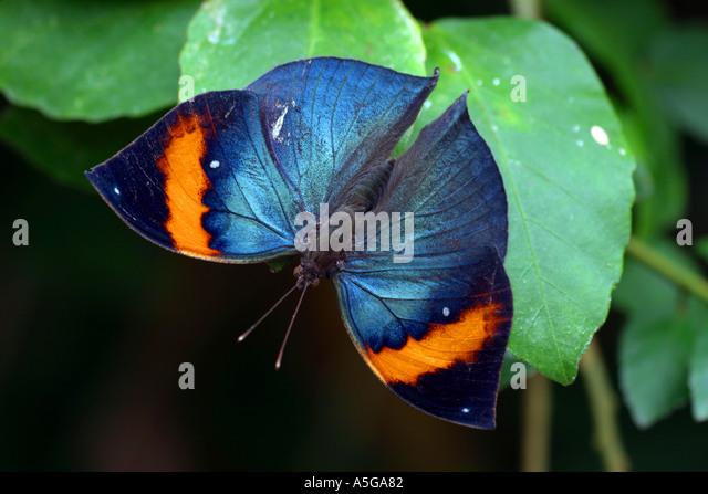Kallima Butterfly Stock Photos & Kallima Butterfly Stock