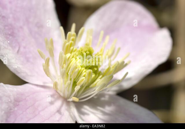 kronen anemonen stock photos kronen anemonen stock images alamy. Black Bedroom Furniture Sets. Home Design Ideas
