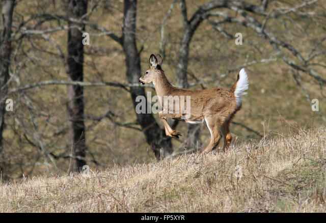 White tailed deer running
