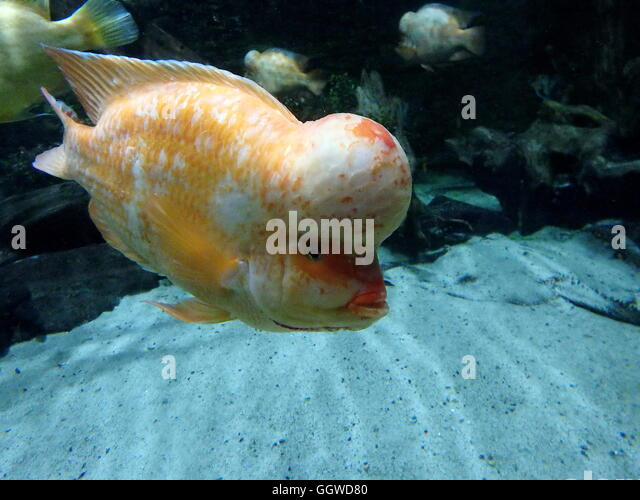 Cichlid Stock Photos Cichlid Stock Images Alamy