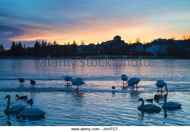 Swans and other waterfowl gathered at sunset at Tjornin Lake. - Stock Image