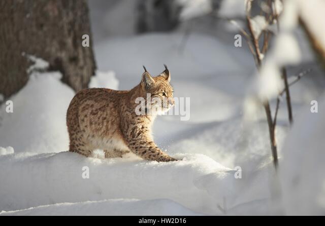 Siamese Cat Latin Name