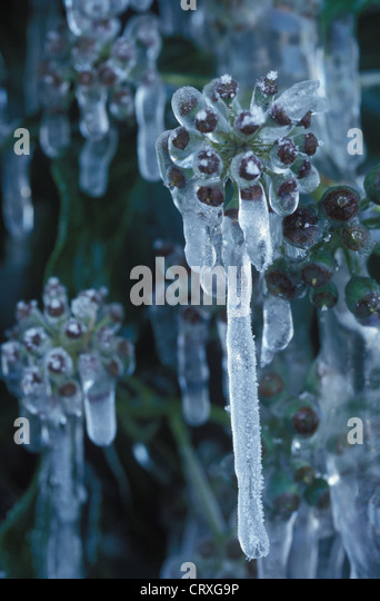 frozen buds on a - photo #25
