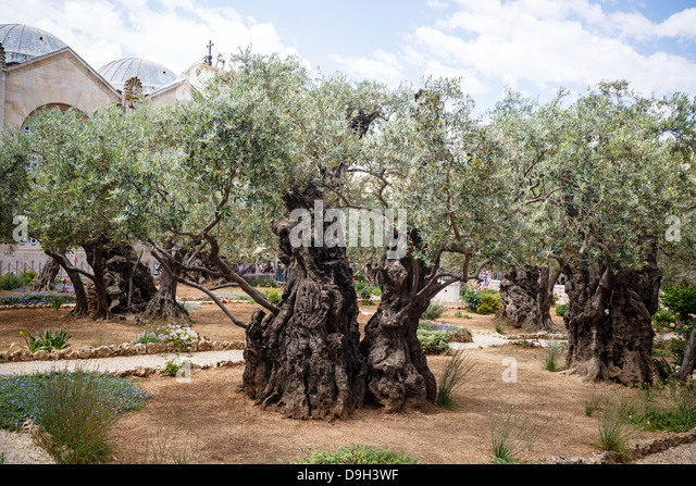 Garden Of Gethsemane Stock Photos Garden Of Gethsemane Stock