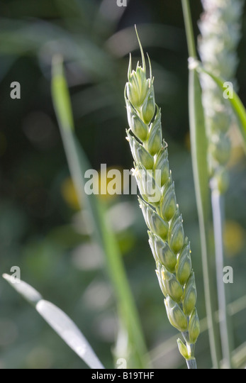 anthesis stage wheat