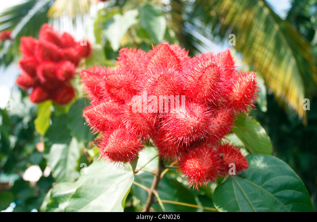 rambutan fruit stock photos  rambutan fruit stock images  alamy, Natural flower