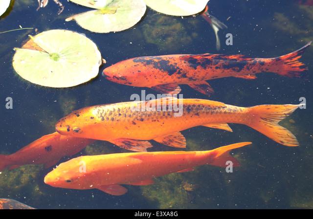 Koi fish pond stock photos koi fish pond stock images for Koi fish pond sydney