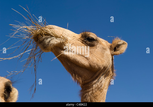 Camel Herd Stock Photos and Pictures | Getty Images