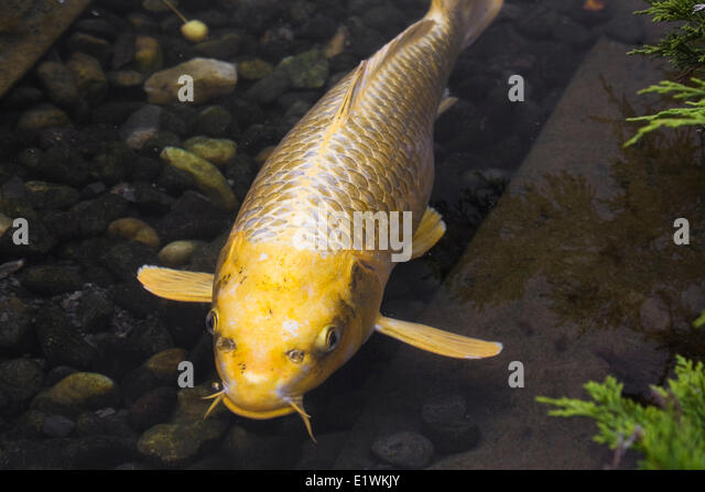 Fish ponds stock photos fish ponds stock images alamy for Japanese pond fish