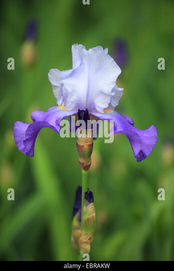 pale violet iris flower stock photos pale violet iris. Black Bedroom Furniture Sets. Home Design Ideas