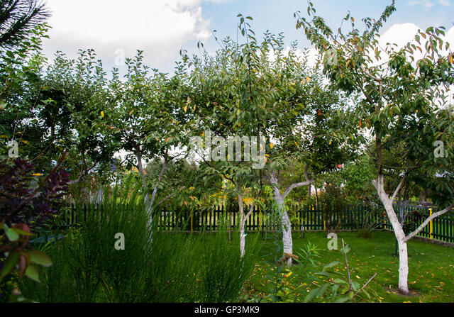 Apple trees and fruit stock photos apple trees and fruit stock images alamy - Romanian cherry tree varieties ...