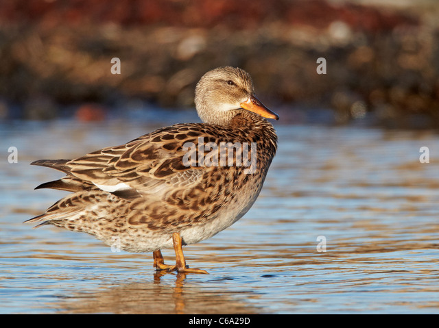 Duck Stock Photos Amp Duck Stock Images Alamy