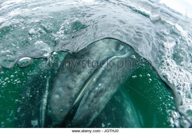 California gray whale calf, Eschrichtius robustus, in San Ignacio Lagoon. - Stock Image