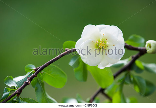 chaenomeles speciosa japanese quince flower stock image - Quince Flower