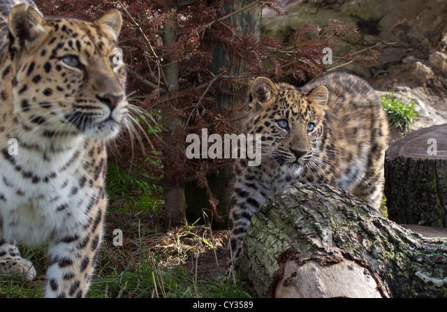 2 Leopards Stock Photos & 2 Leopards Stock Images - Alamy
