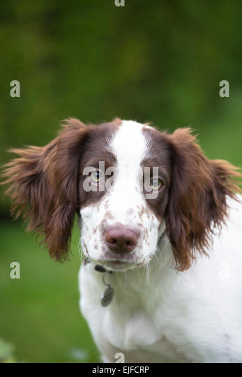 Best Dog Food For A  Year Old Springer Spaniel