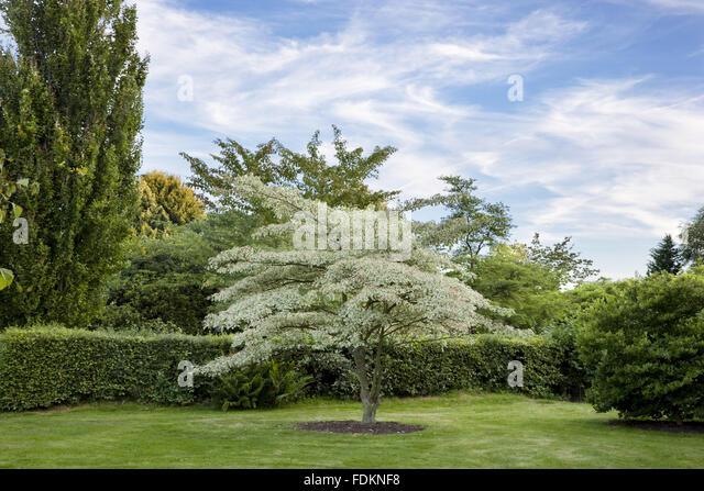 Cornus controversa variegata stock photos cornus for Garden trees kent