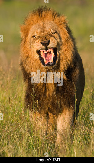 Roaring Lion Head Stock Photos & Roaring Lion Head Stock ...