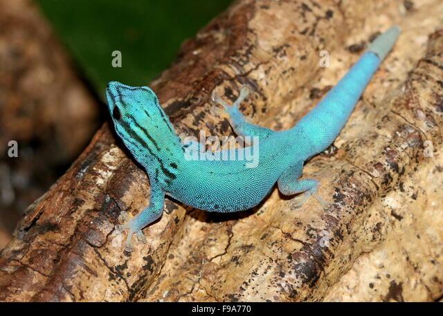 electric blue gecko stock photos amp electric blue gecko
