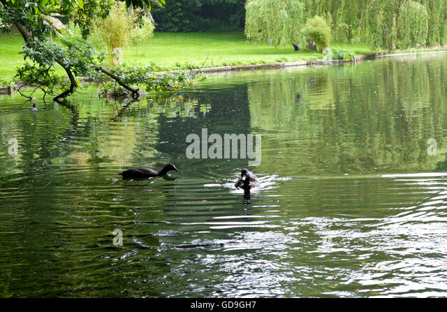 Ducks in garden stock photos ducks in garden stock for Garden pond kent