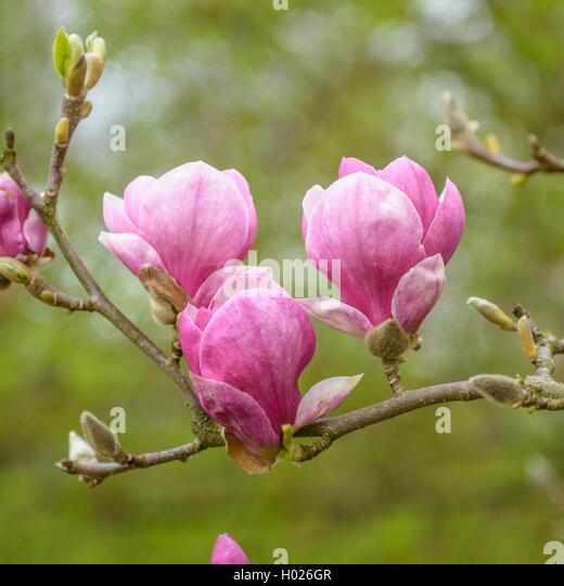 magnoli stock photos magnoli stock images alamy. Black Bedroom Furniture Sets. Home Design Ideas