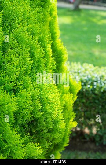 how to kill a conifer hedge