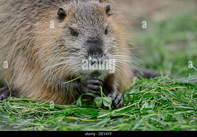 myocastor coypu stock photos & myocastor coypu stock images - alamy