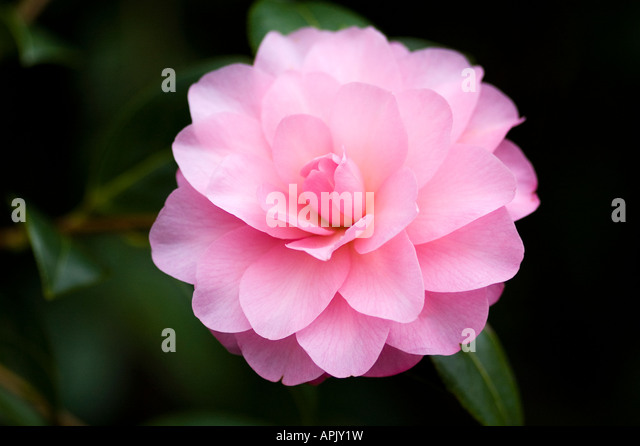 winter-flowering-garden-evergreen-shrub-