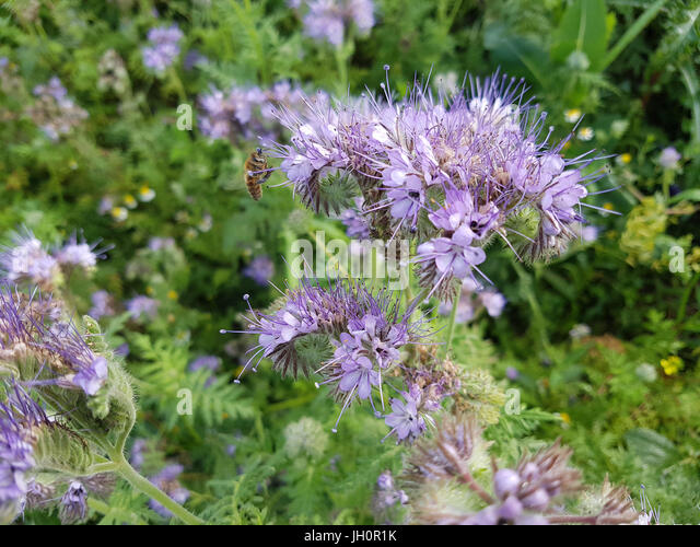 naturheilmittelpflanze stock photos naturheilmittelpflanze stock images alamy. Black Bedroom Furniture Sets. Home Design Ideas