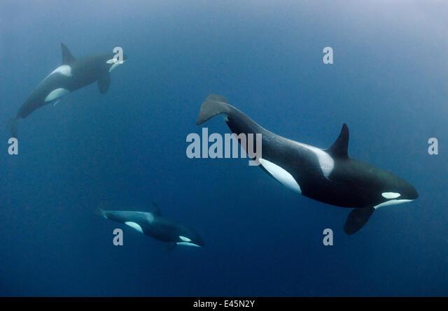 submerged killer whale - photo #32