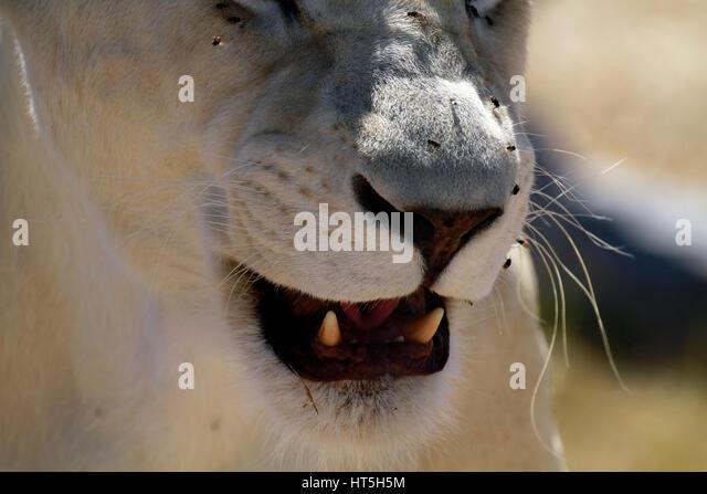 lion nose stock photos amp lion nose stock images   alamy