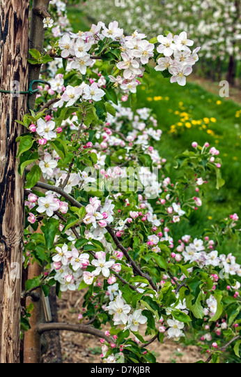 Apple tree malus domestica flowering stock photos apple for Domestica in svizzera