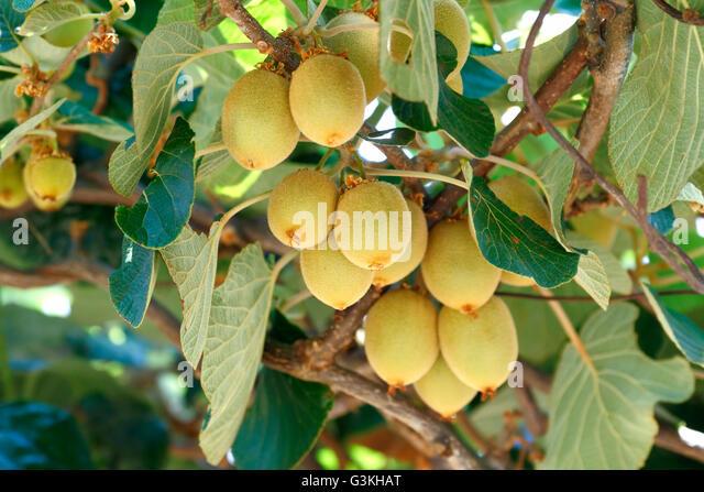 China vineyard stock photos china vineyard stock images for Kiwi albero