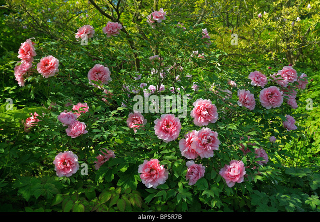 isu analysis jade peony Isu analysis - the jade peony 1278 words | 6 pages one of the themes of the  jade peony was the difficulty that the early chinese.