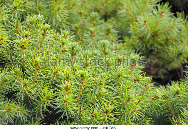 picea glauca conica stock photos picea glauca conica stock images alamy. Black Bedroom Furniture Sets. Home Design Ideas