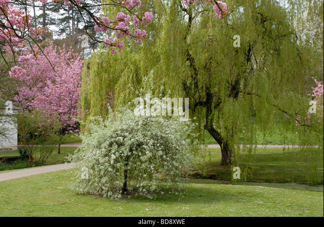 pyrus salicifolia pendula stock photos pyrus salicifolia pendula stock images alamy. Black Bedroom Furniture Sets. Home Design Ideas