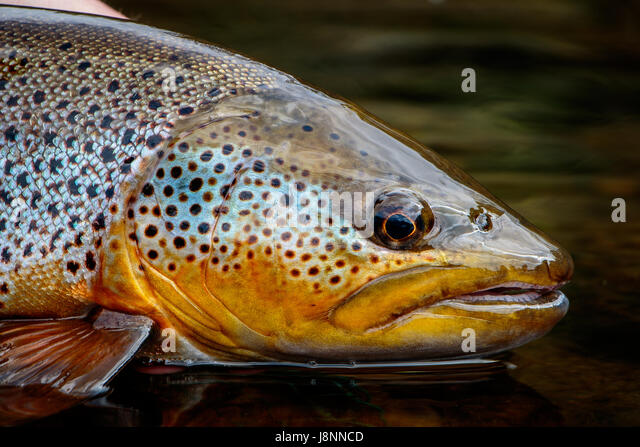 Brown Trout Stock Photos Amp Brown Trout Stock Images Alamy