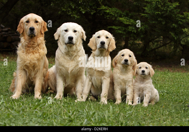 golden retriever adult dogs