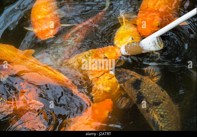 Baby eating fish stock photos baby eating fish stock for What to feed baby koi