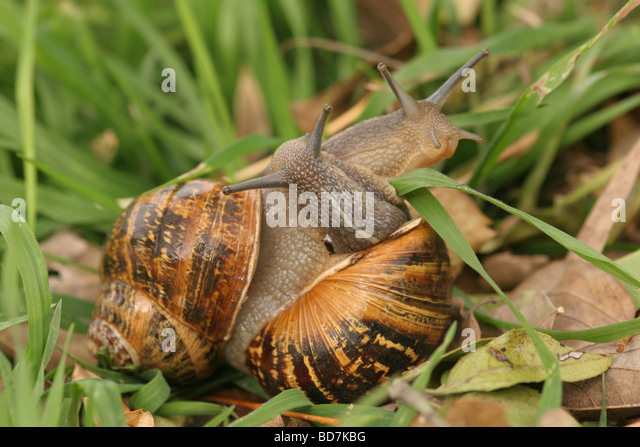 how to tell if snails are mating