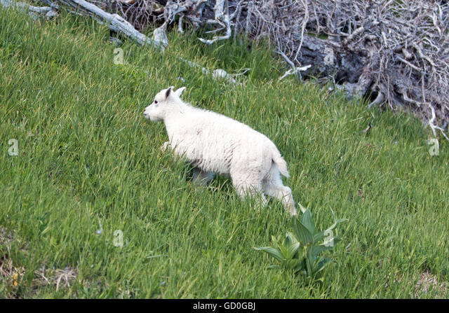 Baby Mountain Goat Climbing  Baby Mountain G...