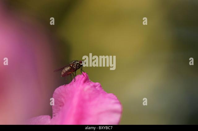 Anthomyiidae (Root Maggot Flies) - Diptera: Brachycera ...