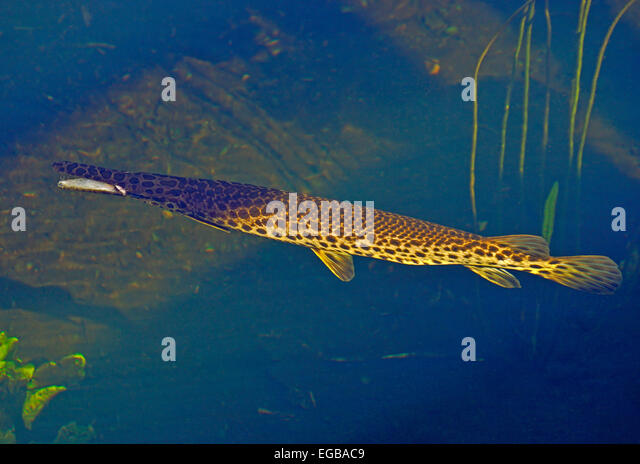 Fish in grass stock photos fish in grass stock images for Fish native to florida