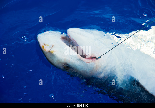 Koder stock photos koder stock images alamy for Shark fishing games