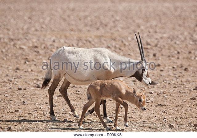 Arabian Oryx Oman Stock Photos & Arabian Oryx Oman Stock ...