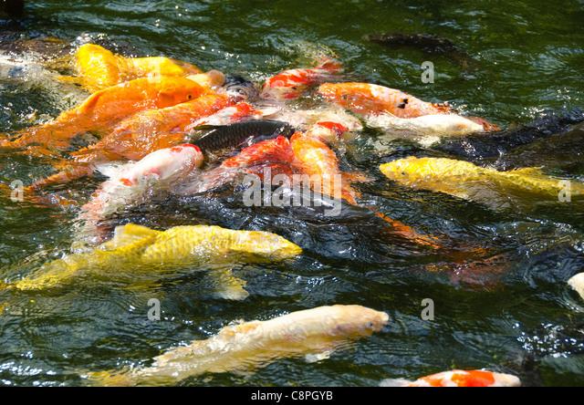 Colorful life koi fish pond stock photos colorful life for Japanese koi food