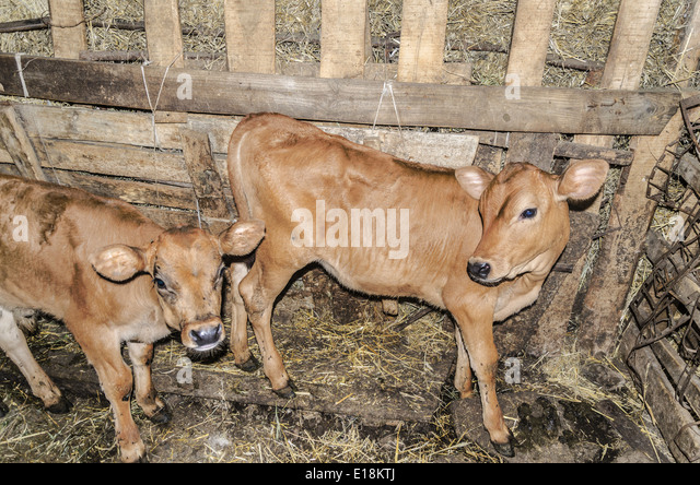 Two Young Calves Inside The Barn